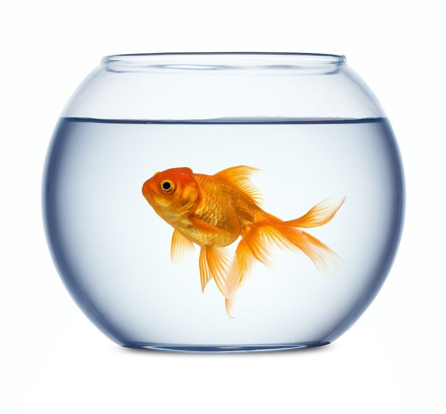 youtube watchers have the memory of a goldfish